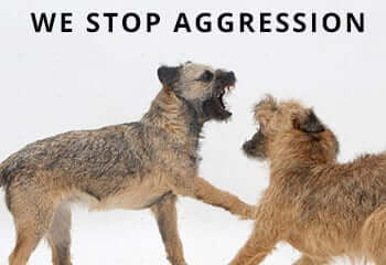 14179-Border-Terrier-bitch-play-fighting-with-her-grown-up-pup-white-background