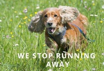 Cocker-running-away