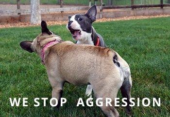 French-Bulldog-aggression-01