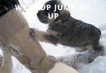SchnauzerJumping1