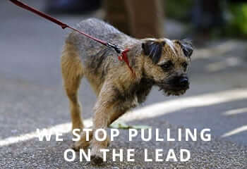 border-terrier-dog-pulls-on-his-leash-england-united-kingdom-A1E2GC