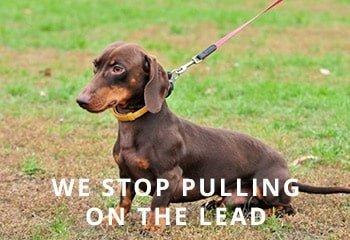 dachshund-leash-training-1