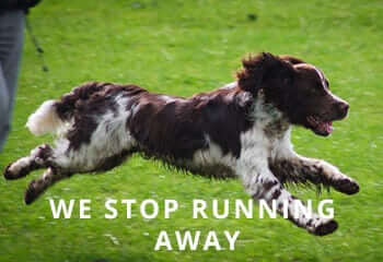 english-springer-spaniel-running
