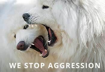 Samoyed-Aggression