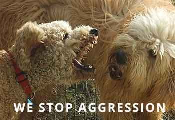 goldendoodle-aggression.jpg