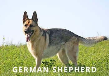German-Shepherd-Soliloquy