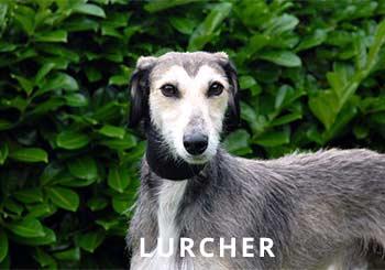 Lurcher-Soliloquy-Dog