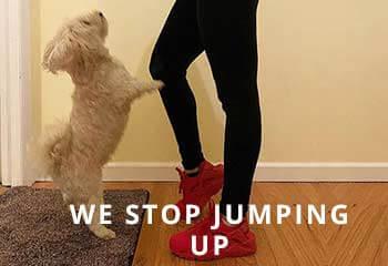 Yorkipoo-jumping-up