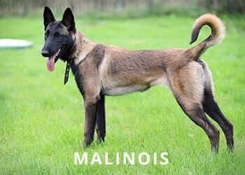 malinois-Dog