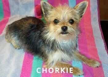 Chorkie-Soliloquy