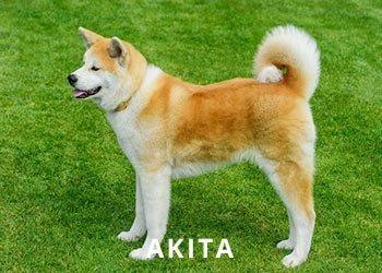 Soliloquy-Akita-Dog