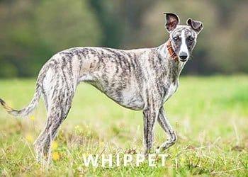 Whippet-Dog