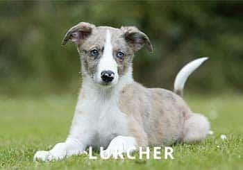 Lurcher-Pupp-Soliloquy