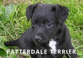 Patterdale-Puppy.jpg