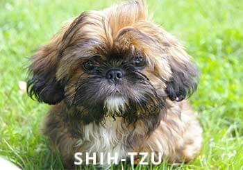 Shih-Tzu-Puppy.jpg