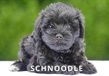 Soliloquy-Puppy