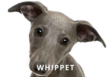 Whippet-Puppey