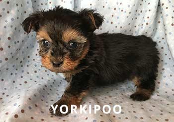 Yorkipoo-soliloquy-puppy
