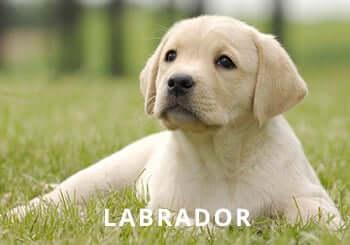 yellow-labrador-puppy-garden.jpg