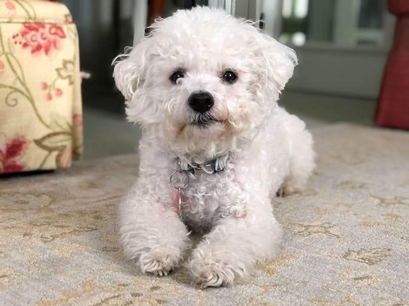 Bichon-Page-dog