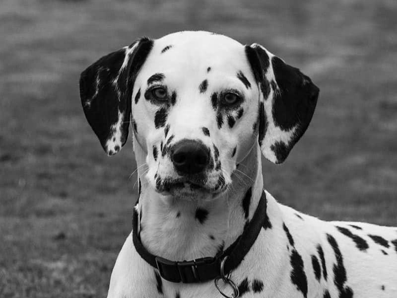 Dalmatian-page-dog