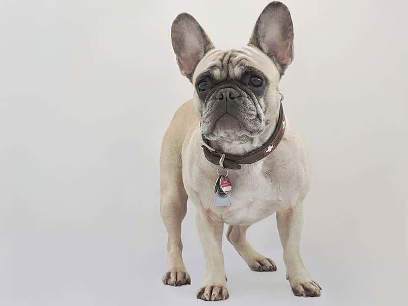 French-bulldog-page-dog
