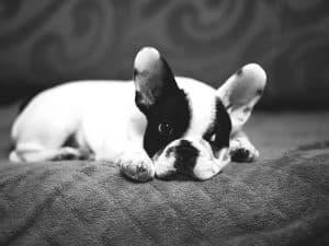 French-bulldog-page-puppy