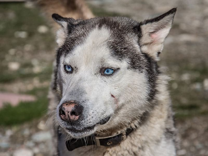 Huskey-page-dog
