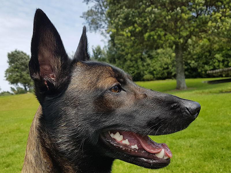 Malinois-page-dog