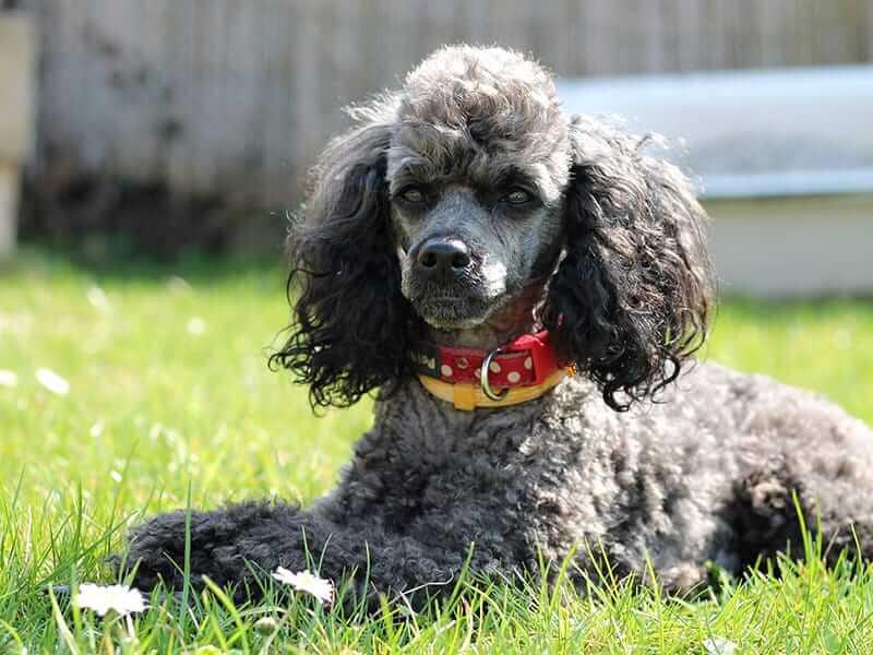 Miniature-Poodle-page-dog