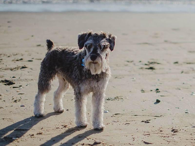 Miniature-Schnauzer-page-dog