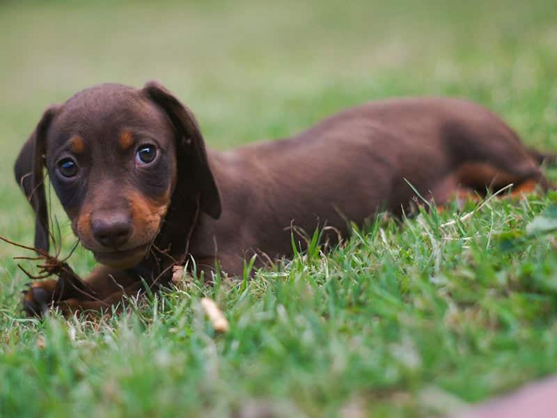 Miniature-daschund-page-dog