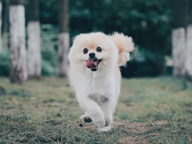 Pomeranian-page-dog