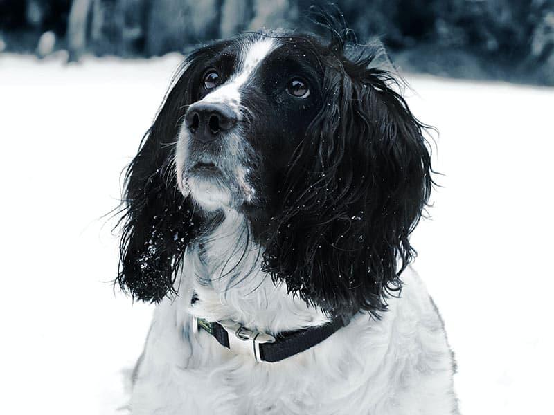 Springer-page-dog
