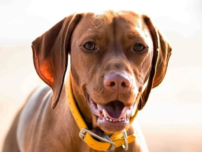 Vizsla-page-dog