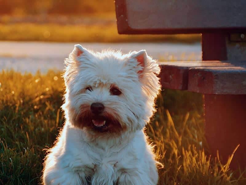 Westi-page-dog