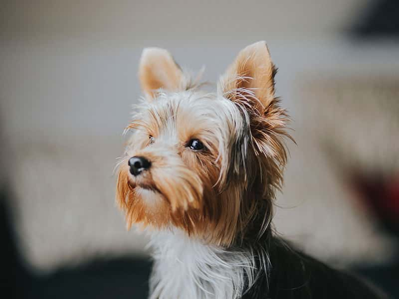 Yorkshire-Terrier-page-dog
