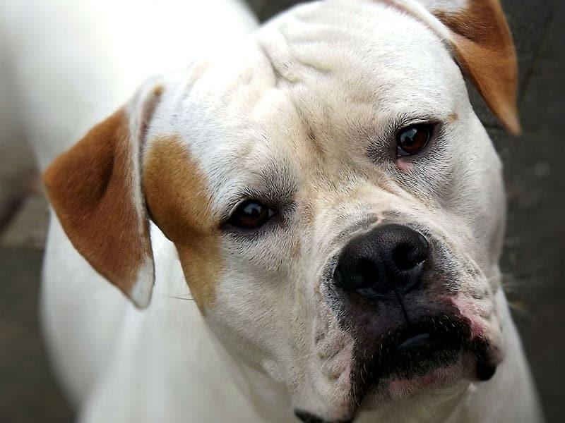 american-bulldog-page-dog