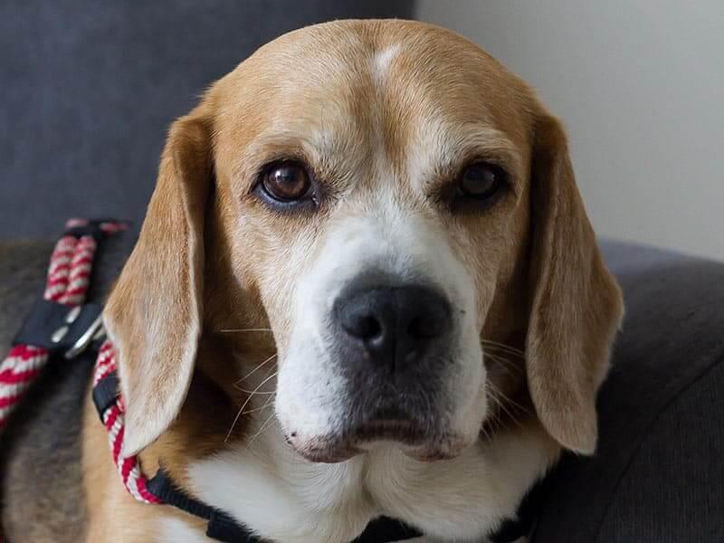 beagle-page-dog
