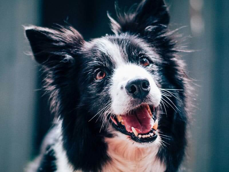 border-collie-page-dog