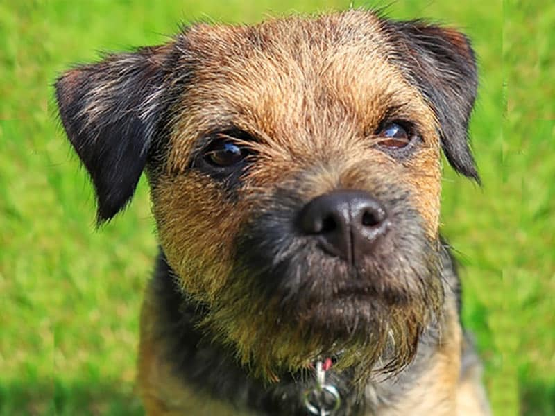 border-terrier-page-dog