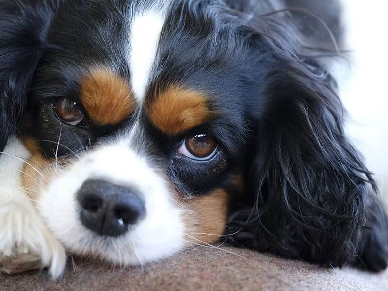 cavalier-king-charles-page-dog