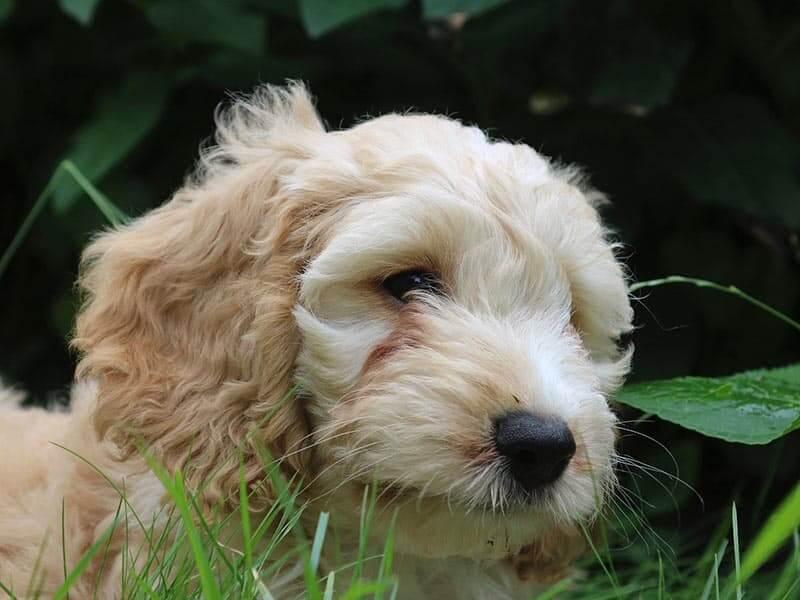 cockapoo-page-puppy
