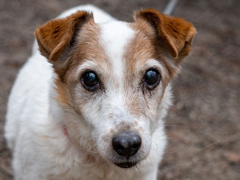 jack-russell-page-dog
