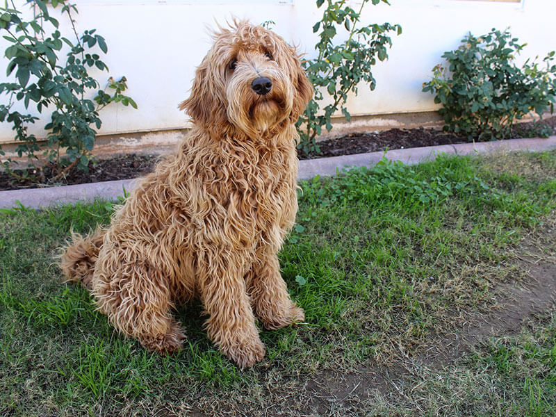 labradoodle-page-dog