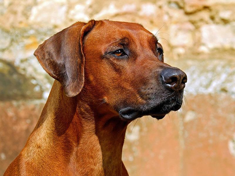 rhodesian-ridgebackpage-dog