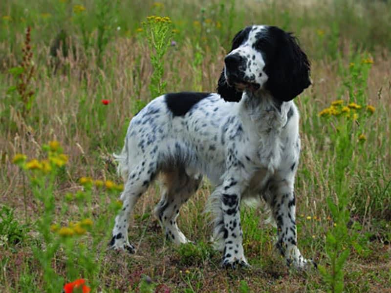sprocker-page-dog