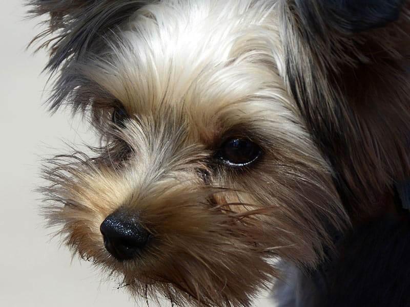 yorkipoo-page-dog