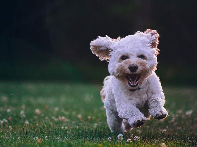 Cockapoo-Page-dog